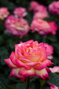 ピンクのバラの花の写真素材 [FYI03103484]
