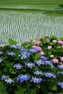 アジサイの花と水田の写真素材 [FYI03103498]