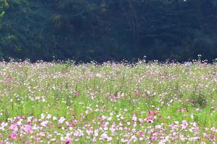 くりはま 花の国のコスモスの写真素材 [FYI03104319]