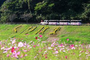 くりはま 花の国のコスモスの写真素材 [FYI03104321]