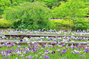 横須賀しょうぶ園の写真素材 [FYI03104641]
