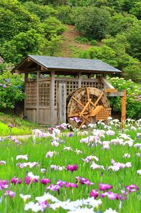 横須賀しょうぶ園の写真素材 [FYI03104648]