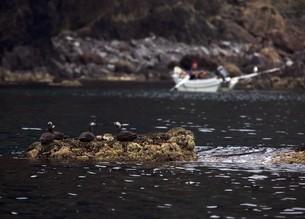 天売島のウニ漁とケイマフリの写真素材 [FYI03105590]