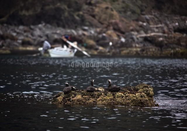 天売島のウニ漁とケイマフリの写真素材 [FYI03105594]