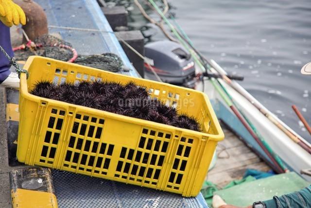 天売島のウニの写真素材 [FYI03105786]