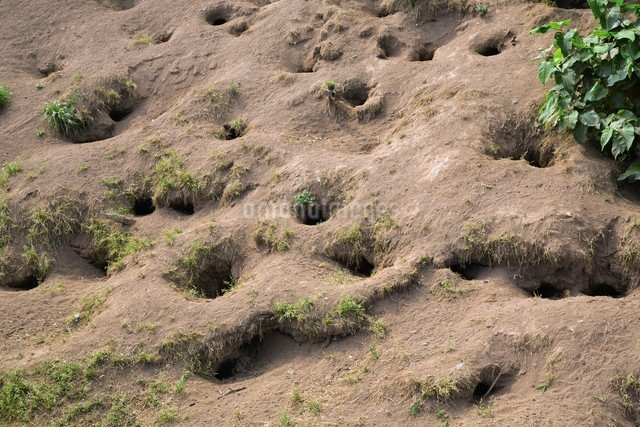 天売島のウトウの巣穴の写真素材 [FYI03105788]