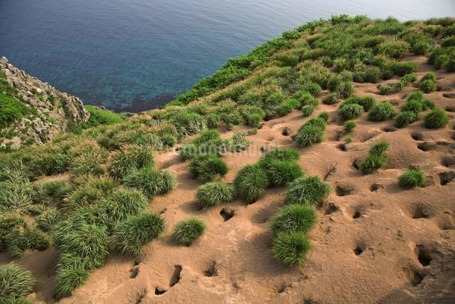 天売島のウトウの巣穴の写真素材 [FYI03105791]