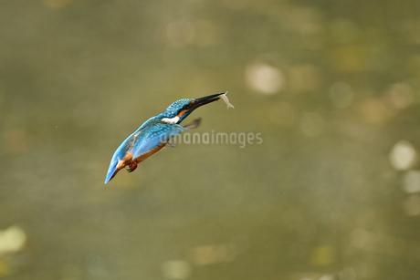 カワセミの捕食の写真素材 [FYI03106196]