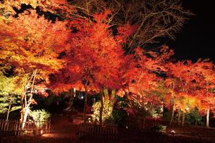 錦秋の玄宮園ライトアップの写真素材 [FYI03106933]