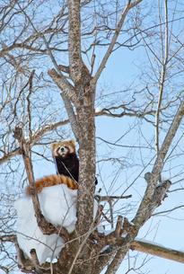 旭山動物園,レッサーパンダの写真素材 [FYI03107182]