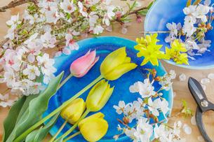 チュウリップとサクラの花の写真素材 [FYI03114730]
