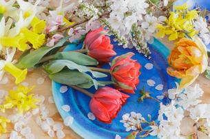 チュウリップとサクラの花の写真素材 [FYI03114735]