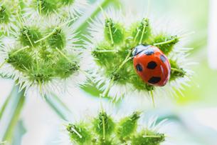 咲き終えたオルレアの花に止まるナナホシテントウの写真素材 [FYI03114741]