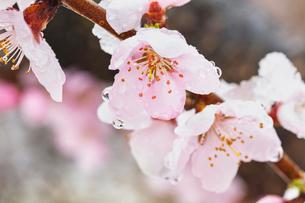 雪を被った桃の花の写真素材 [FYI03114744]