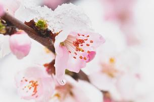 雪を被った桃の花の写真素材 [FYI03114745]