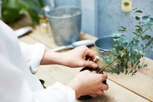 ユーカリの苗の植え替える作業をする手元の写真素材 [FYI03114831]