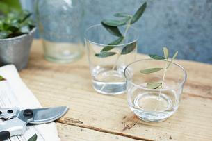水の入ったガラスのコップに挿しているオリーブの枝の写真素材 [FYI03114832]