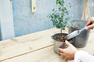 スコップを使ってユーカリの苗の植え替える作業をする手元の写真素材 [FYI03114845]