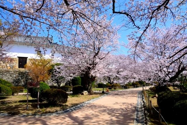 満開の桜,西の丸庭園百間廊下ヲの槽の写真素材 [FYI03114962]