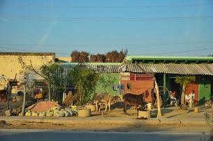 牛が餌を食べている民家の写真素材 [FYI03114985]