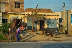 牛と鳥がいる民家の写真素材 [FYI03115043]