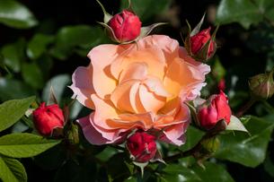 オレンジのバラの花の写真素材 [FYI03115209]