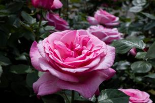 ピンクのバラの花の写真素材 [FYI03115210]