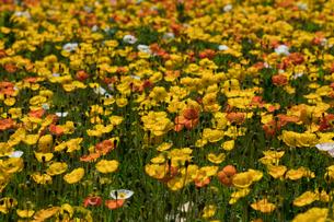 アイランドポピーの花畑の写真素材 [FYI03115219]