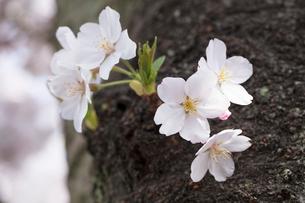胴吹き桜の写真素材 [FYI03115228]