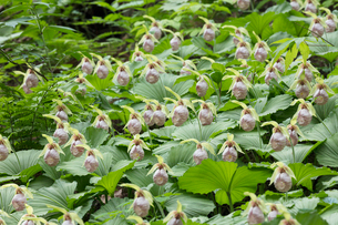 クマガイソウの花の写真素材 [FYI03115242]