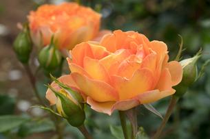 バラの花の写真素材 [FYI03115247]