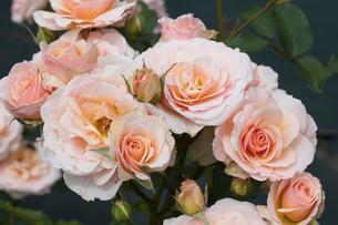 バラの花の写真素材 [FYI03115248]