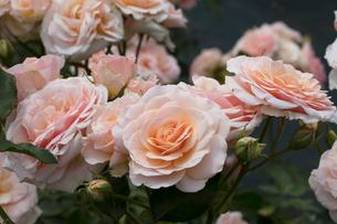 バラの花の写真素材 [FYI03115252]