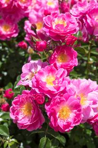 ピンクのバラの花の写真素材 [FYI03115257]