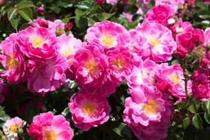ピンクのバラの花の写真素材 [FYI03115261]