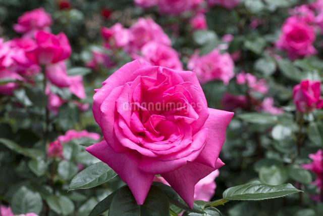 ピンクのバラの花の写真素材 [FYI03115262]