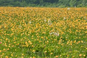 ニッコウキスゲの花畑の写真素材 [FYI03115264]
