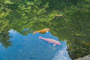 日本名水百選 出流原弁天池湧水の錦鯉の写真素材 [FYI03115284]