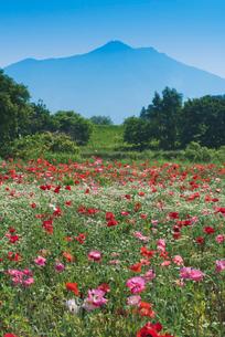 日本百名山の筑波山とポピー畑とハーブのカモミールの写真素材 [FYI03115308]