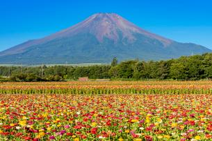 百日草と富士山の写真素材 [FYI03115319]