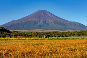 キバナコスモスと富士山の写真素材 [FYI03115321]