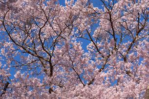 高遠城址公園のタカトウコヒガンザクラの写真素材 [FYI03115326]