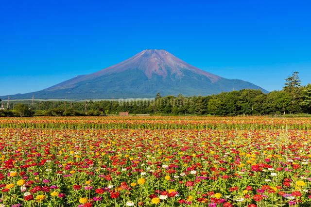 百日草と富士山の写真素材 [FYI03115333]
