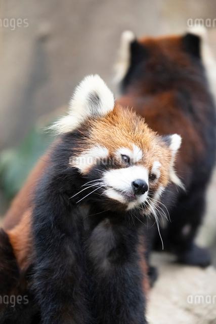 レッサーパンダの写真素材 [FYI03115470]