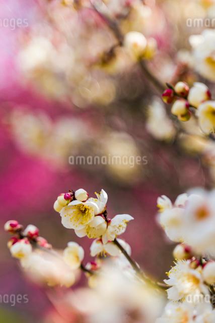 荒山公園の梅の花の写真素材 [FYI03115481]