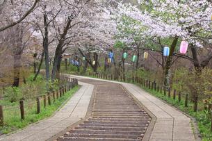神奈川県 弘法山の桜の写真素材 [FYI03115574]