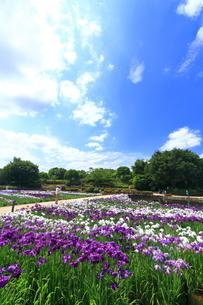 しょうぶ咲く相模原公園の写真素材 [FYI03115592]