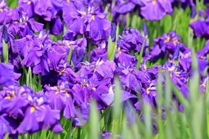 しょうぶ咲く相模原公園の写真素材 [FYI03115593]