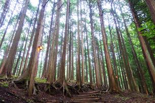 丹沢の原生林の写真素材 [FYI03115639]