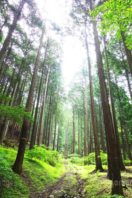 丹沢の原生林の写真素材 [FYI03115647]